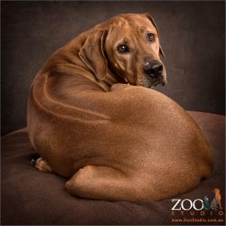 ridged back of rhodesian ridgeback