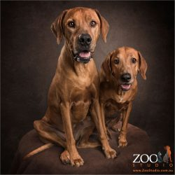 pair of fur sibling rhodesian ridgebacks