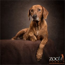 very regal sitting stance rhodesian ridgeback