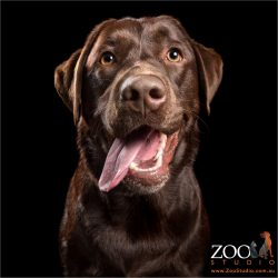 lobsided tongue smiling chocolate labrador