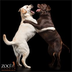 play fighting golden and chocolate labradors on hind legs