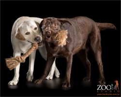 golden and chocolate labradors playing with tug rope