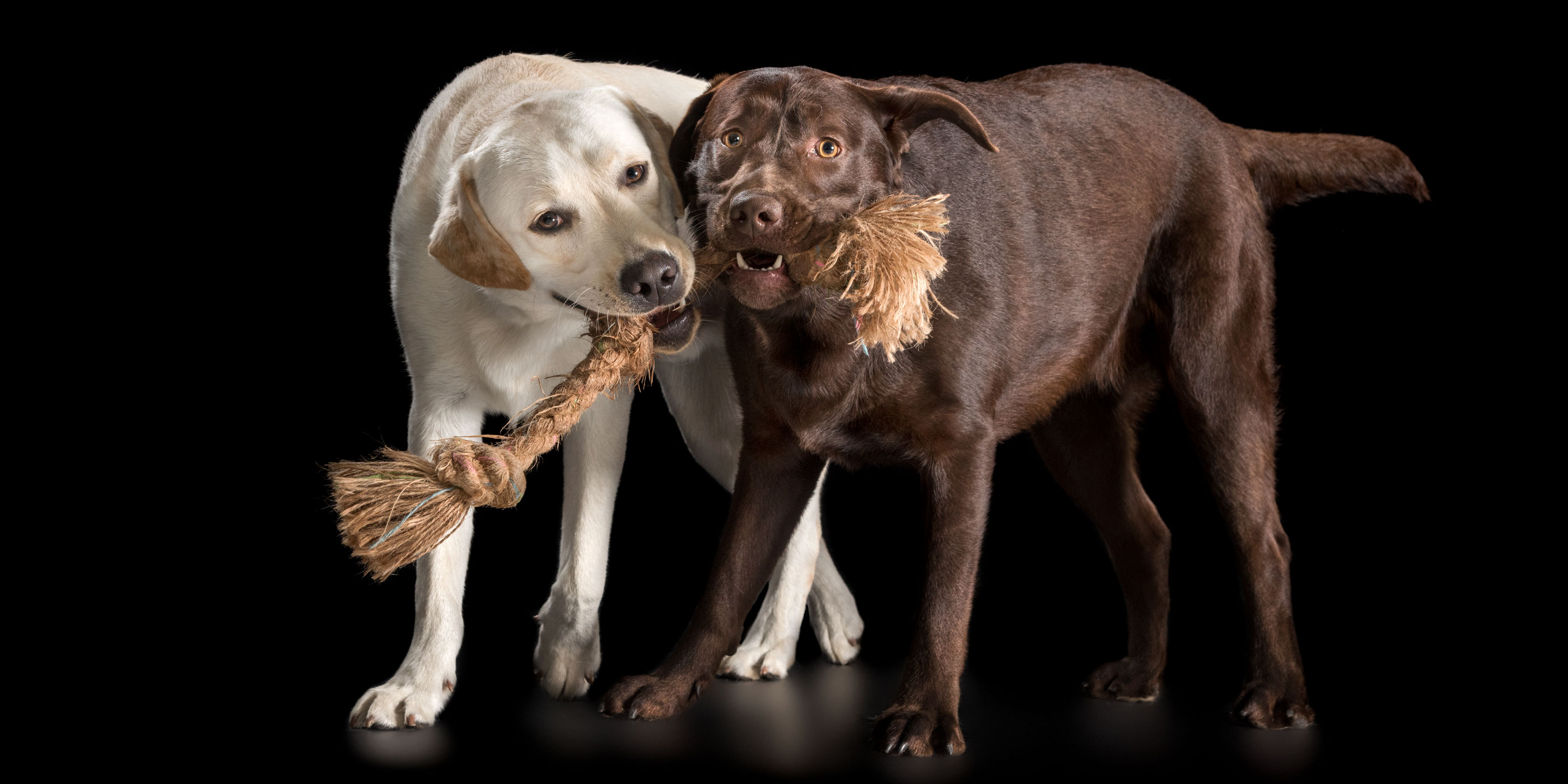 golden and chocolate labradors pulling one tug rope