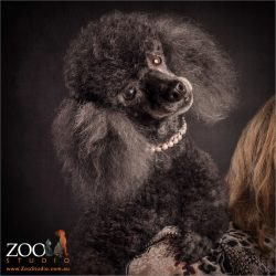 fluffy eared black miniature black poodle