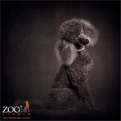 coy over the shoulder pose miniature black poodle