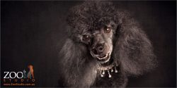black miniature poodle in pearly necklace