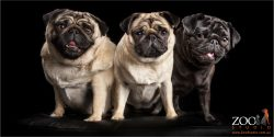 trio of pug siblings fawn and black