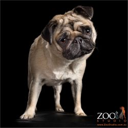 head tilting fawn pug standing up