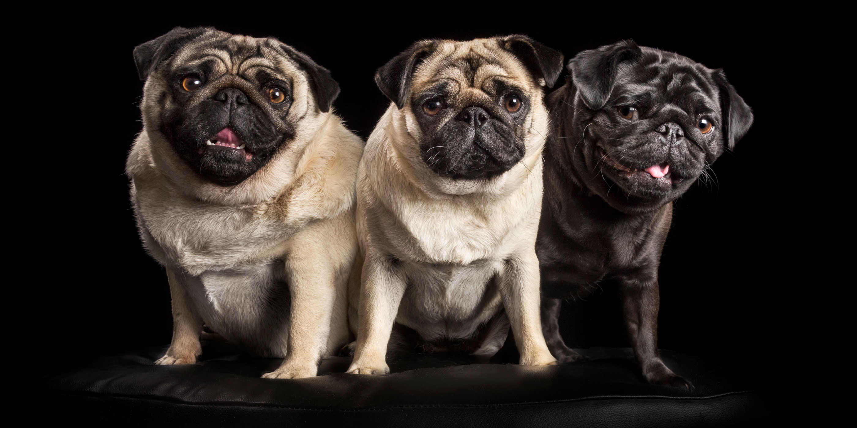 fur sibling trio of pugs two fawn and one black