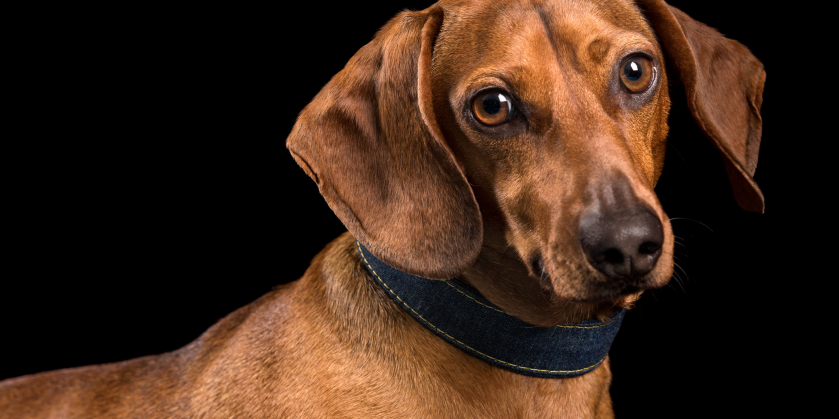 tan dachshund in blue collar