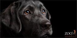 soft faced black labrador girl