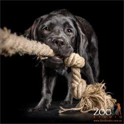 black labrador tugging on large rope