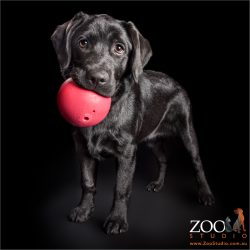 large pink ball in black lab's mouth