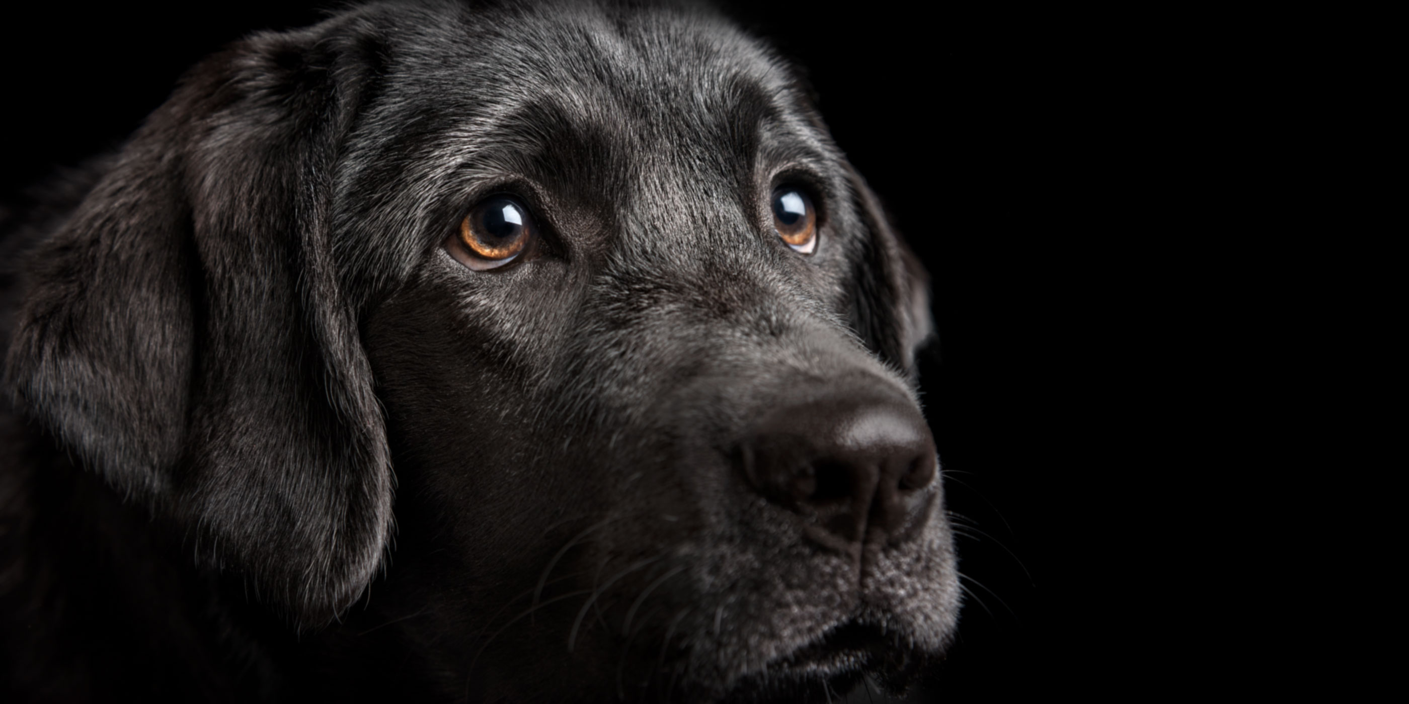 soft and sweet faced black labrador girl