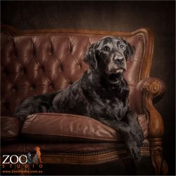 gentleman black labrador relaxing on leather couch