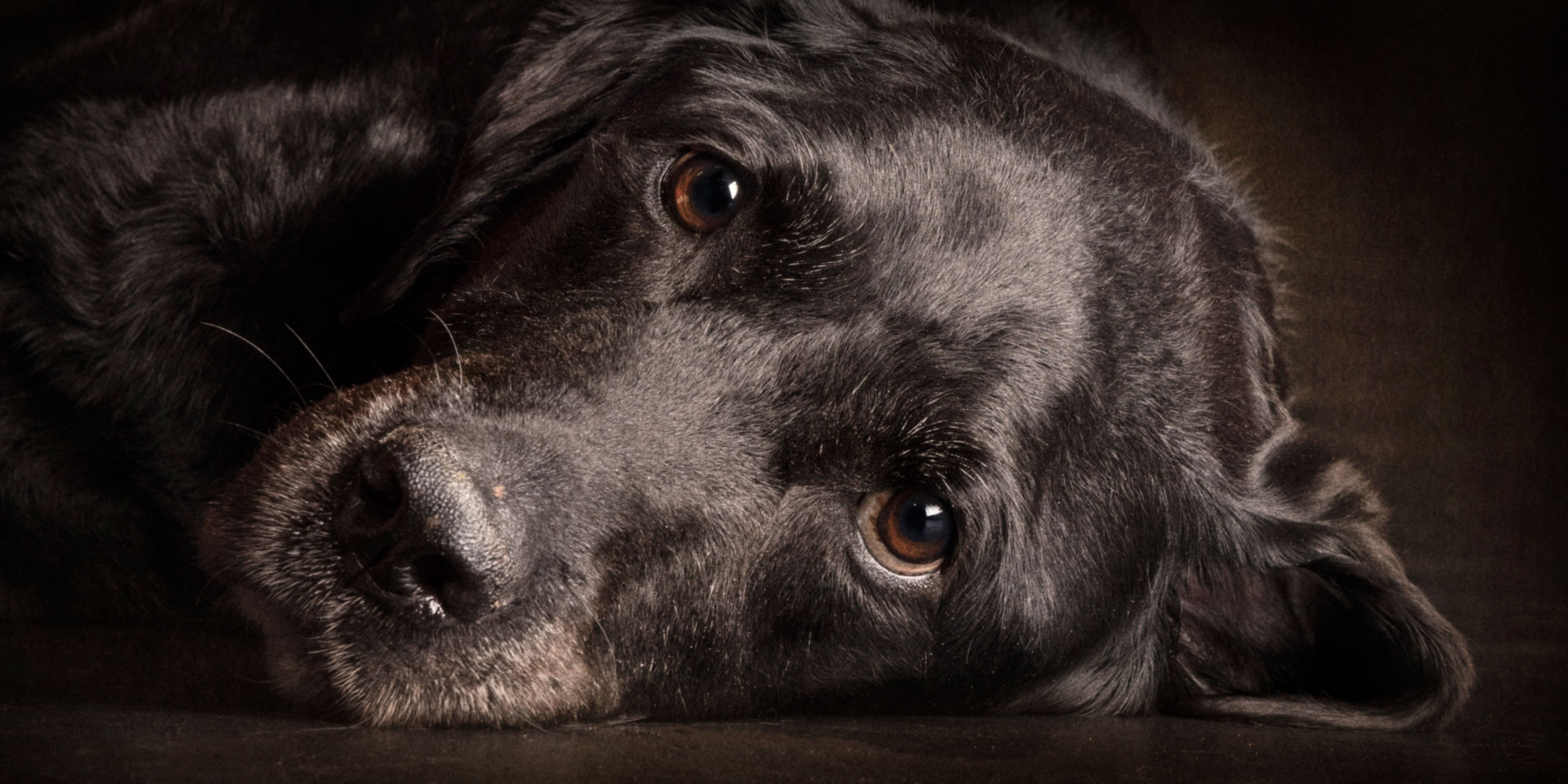 prone position sweet faced black lab