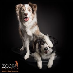 two border collies hamming it up
