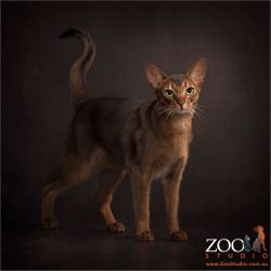 tawny abyssinian cat with huge green eyes