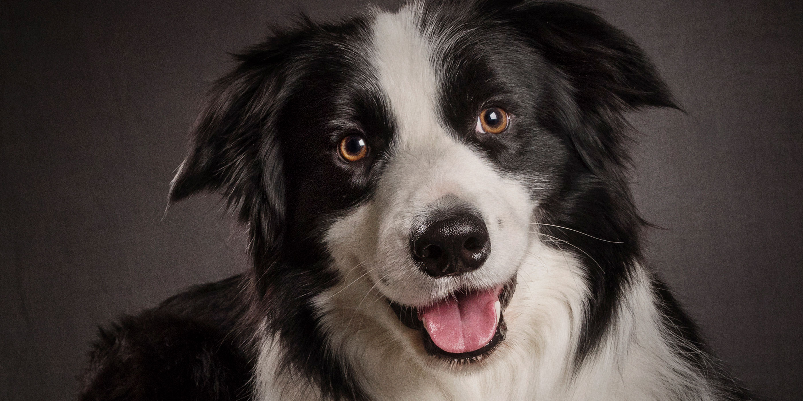 handsome smiling black and white border collie