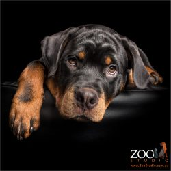 large pawed rottie pup resting head