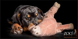 pink toy about to get it from rottweiler pup