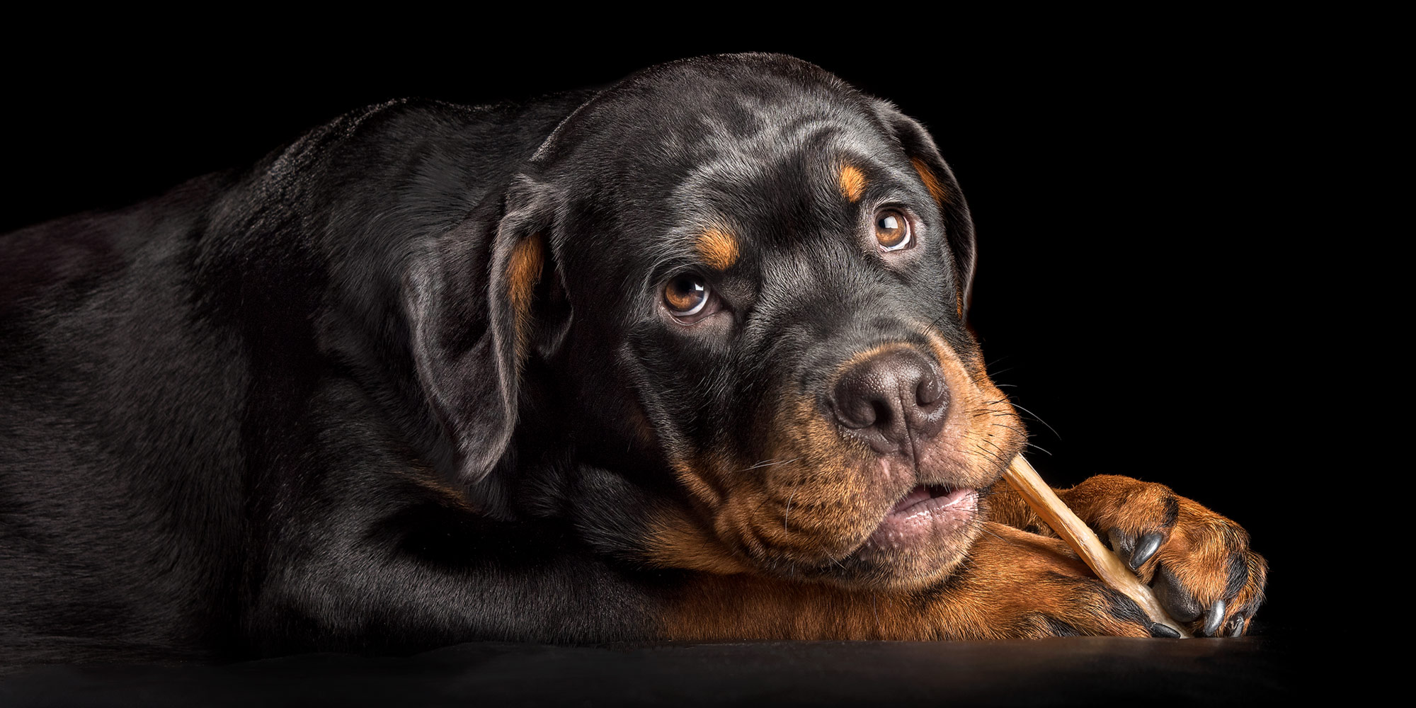 angelic faced rottweiler pup chewing on beef hide stick
