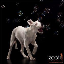 dalmatian cross chasing bubbles