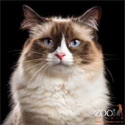 bright blue eyed chocolate and white ragdoll cat