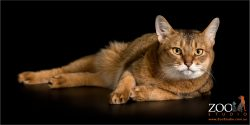 lolling on side abyssinian