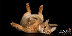 laid back abyssinian rolling aorund