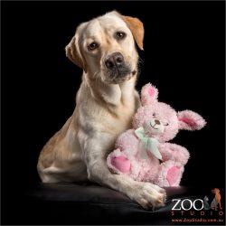 golden labrador cuddling pink toy bunny