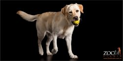 happy lab walking with yellow ball in mouth