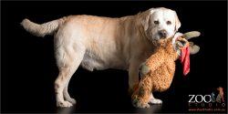 golden labrador taking toy for a walk