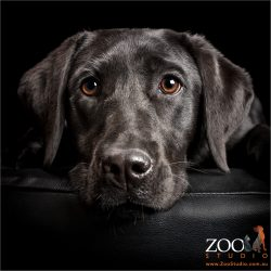 full head shot black labrador girl