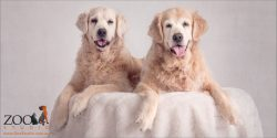 sweet old girls golden retrievers