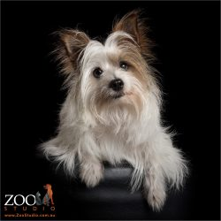 long haired brown and white terrier