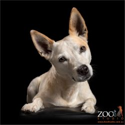 mesmerising head tilting cattle dog cross