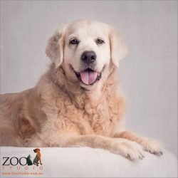 smiling elderly golden retriever in lioness pose