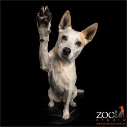 very high hi-five from tan and white cattle dog cross