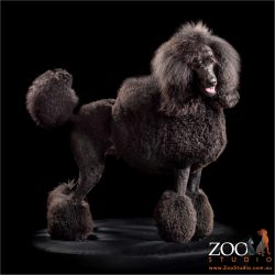 show clipped standard black poodle
