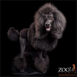 standard black poodle with show trim