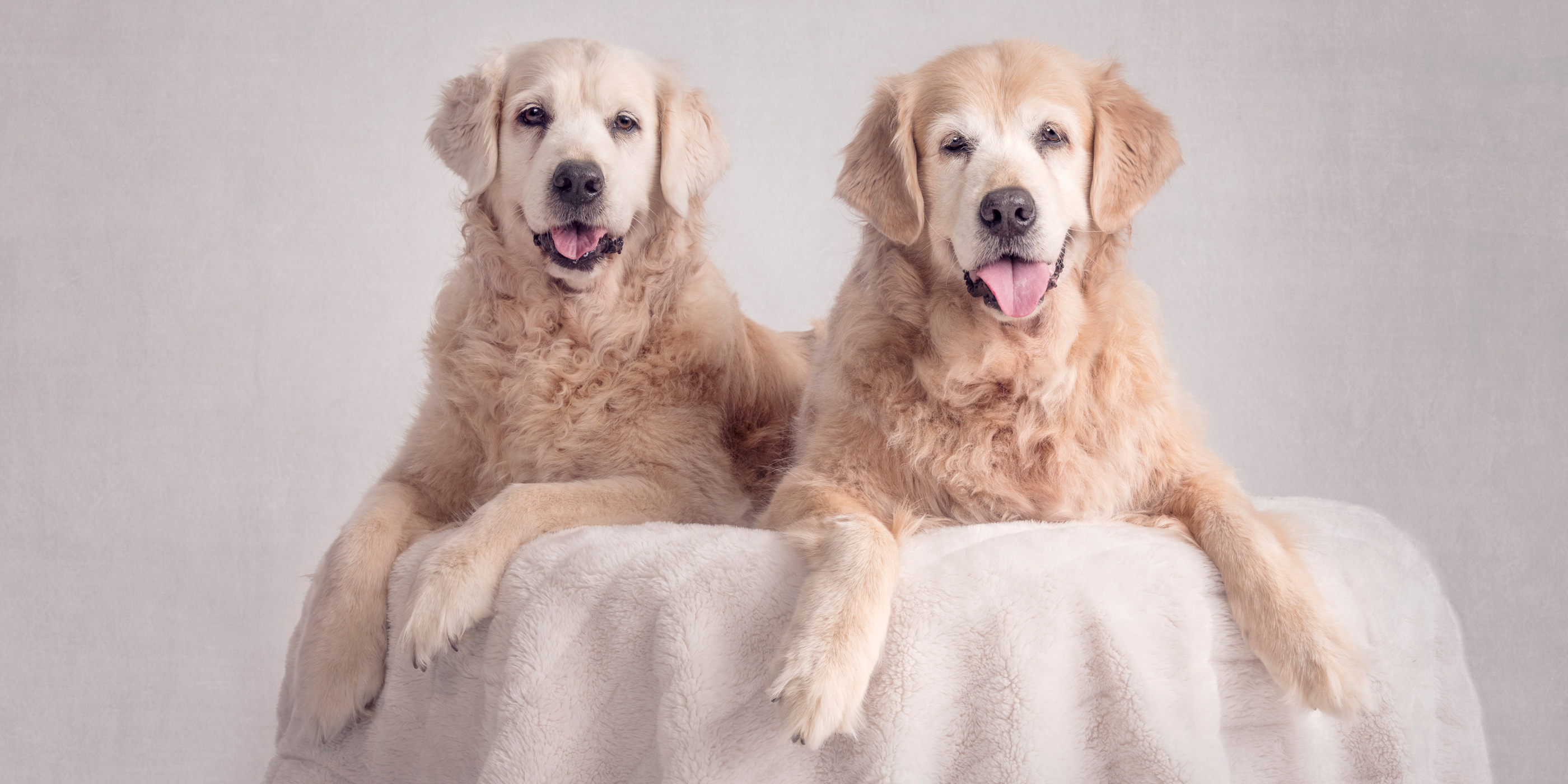 pair of smiling elderly golden retriever fur-sisters