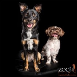 kelpie and shih tzu pals