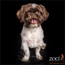 smiling shih tzu boy