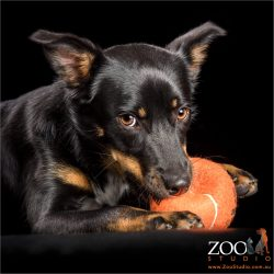 kelpie cross chomping on large orange ball
