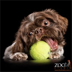 brown and white shih tzu chomping on tennis ball