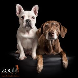 white french bulldog pup sitting with kelpie cross