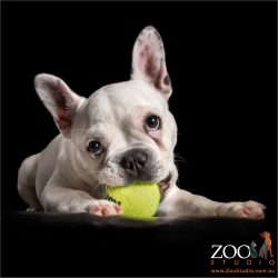 white french bulldog lying with yellow ball in mouth