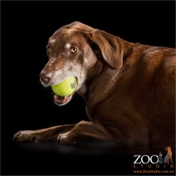 grey muzzled kelpie dalmatian cross with tennis ball in mouth