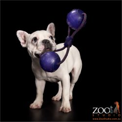 playful white french bulldog with tug toy